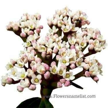 viburnum-davidii
