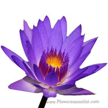 water-lily-purple