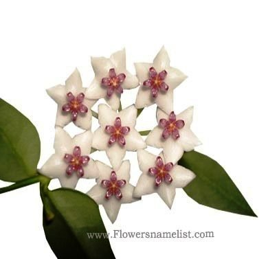 wax-hoya-bella- plant