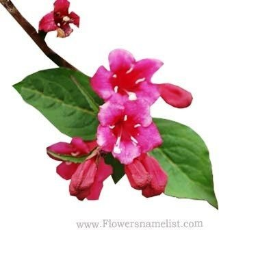 weigelia_florida_rouge
