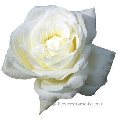 white color rose