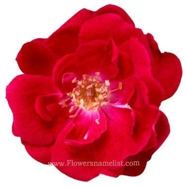 wild-red-rose