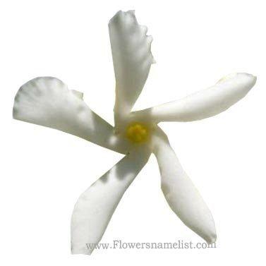 winter jasmine white