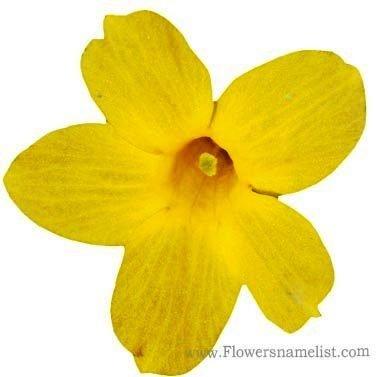 winter jasmine yellow