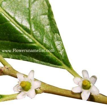 winterberry_holly_flower