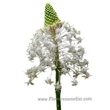 xerophyllum asphodeloides