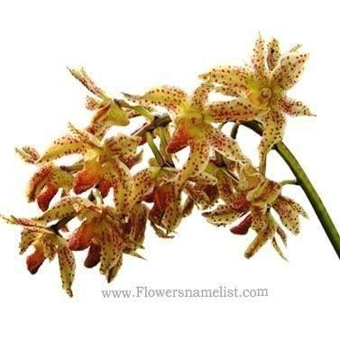 xylobium leontoglossum