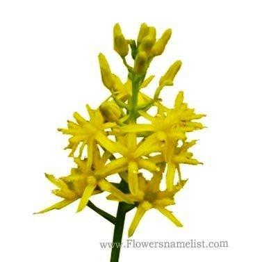 yellow asphodel