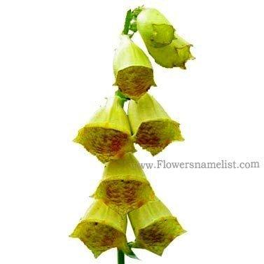 yellow foxglove