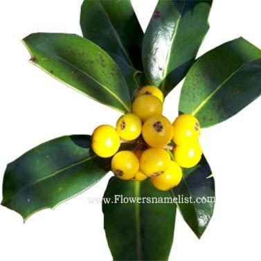 yellow fruited holly