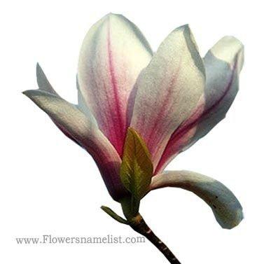 yulan flower