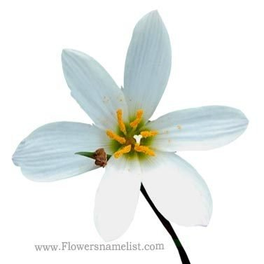 zephyranthes candida rain lily