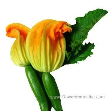 zucchini-male-flower